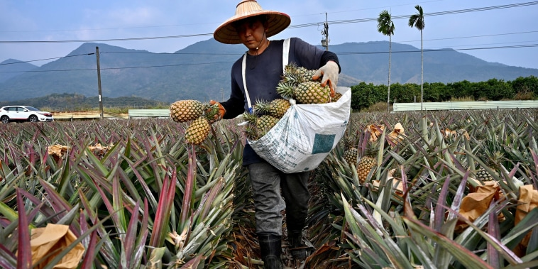 Image: A farmer harvesting pineapples in Pingtung county, Taiwan