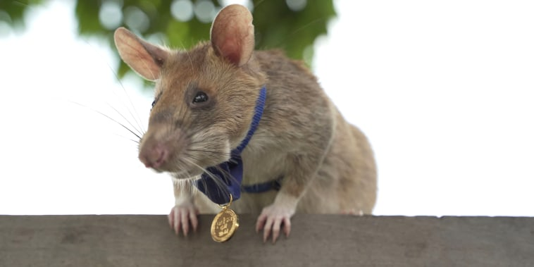 Magawa, an African giant pouched rat, wearing his gold medal received from PDSA for his work in detecting landmines, in Siem Reap.