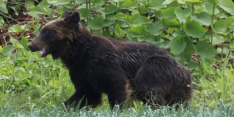 Image: A brown bear that is on the loose in Sapporo, Hokkaido prefecture, Japan