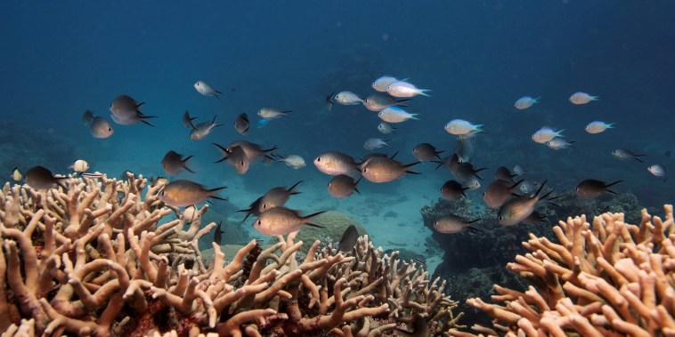 Image: A school of fish swim above a staghorn coral colony as it grows on the Great Barrier Reef off the coast of Cairns, Australia.