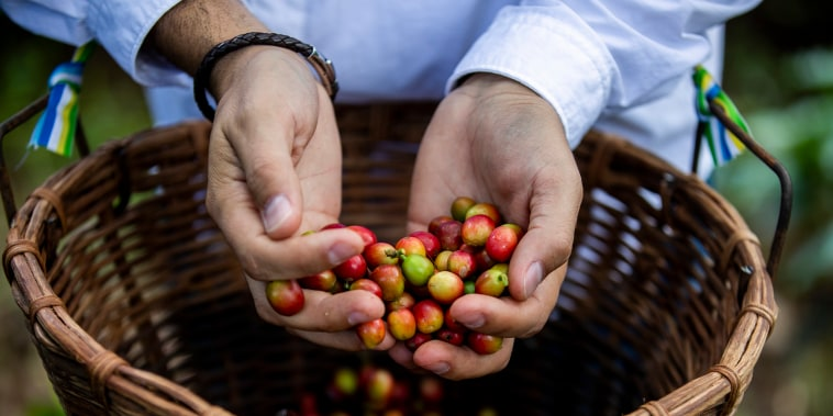 A volunteer holds the coffee beans he helped pick at a farm in Lares, Puerto Rico as part of an effort to ensure that first coffee harvest since Hurricane Maria destroyed almost all the crops on the island don't go to waste.