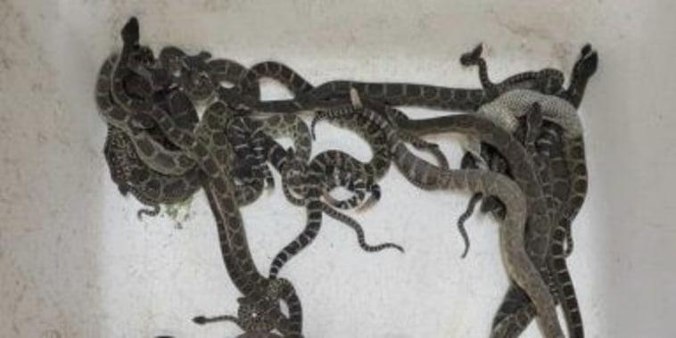 Serpientes de cascabel del Pacífico Norte halladas debajo de una casa en el norte de California