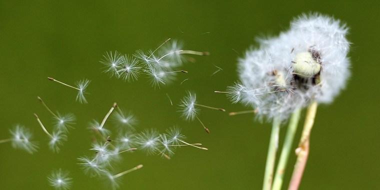 Dandelion seeds blow in the wind