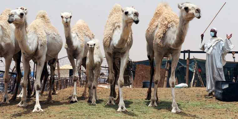Image: A Saudi wears a mouth and nose mask as he leads camels at his farm