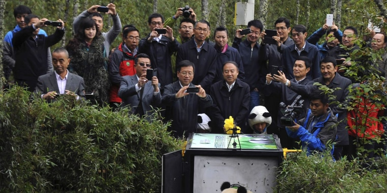 Image: People take pictures of the two-year-old giant panda Xuexue before it was sent back to the wild at Liziping natural reserve, in Ya'an