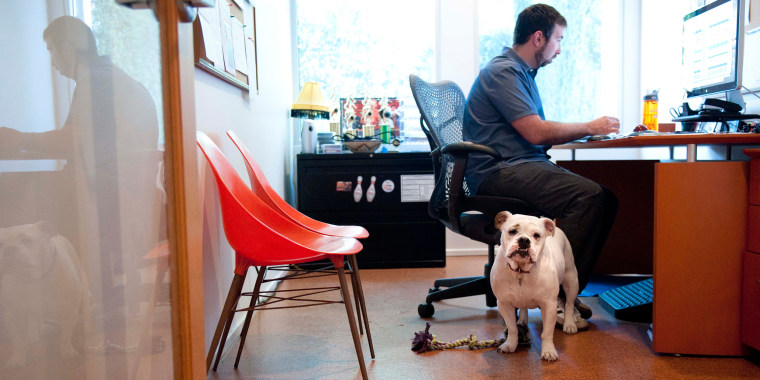 Image: Ginger, an English Bulldog, stands watch while at work with her owner