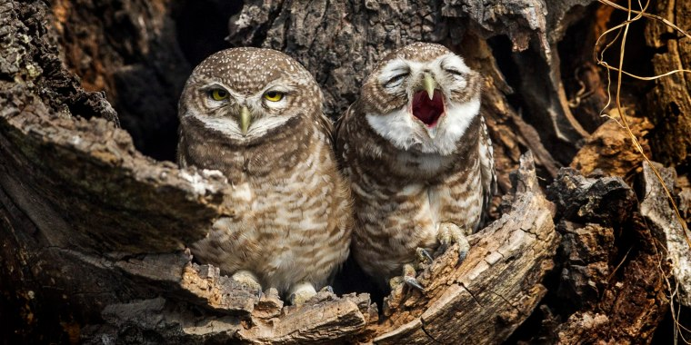 Image: Owls in Nepal