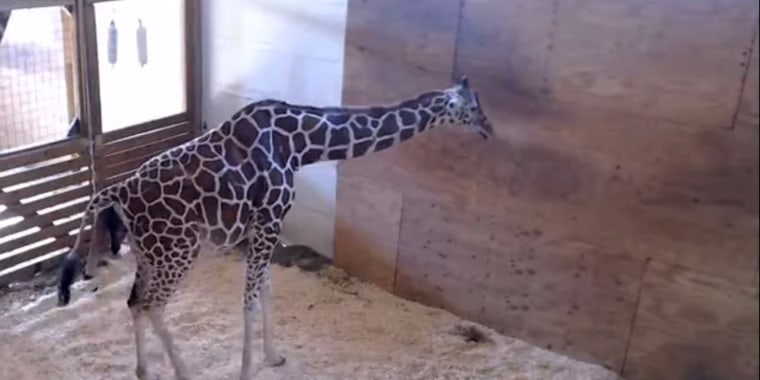 Image: April the Giraffe welcomes a baby, April 15, 2017.