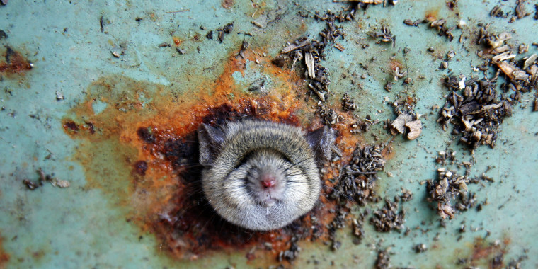 Image: A rat's head rests as it is constricted in an opening in the bottom of a garbage can in the Brooklyn borough of New York
