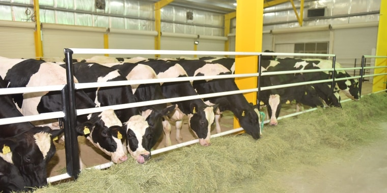 Imported cows arrive at the Baladna farm in Qatar.