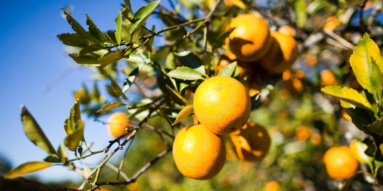 Florida Citrus Crops Endangered By U.S. Cold Snap