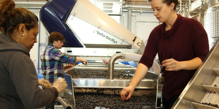 The winery crew at Crocker & Starr Winery in St. Helena, California, uses mechanized sorting tables as well as hand sorting to ensure only the highest quality grapes make it into their wine.