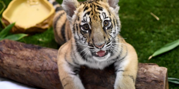 Image: A young Bengal tiger cub smuggled into the U.S. and seized at the Mexico border is displayed for the media during Operation Jungle Book at the U.S. Fish and Wildlife Service in Torrance, California on Oct. 20, 2017.