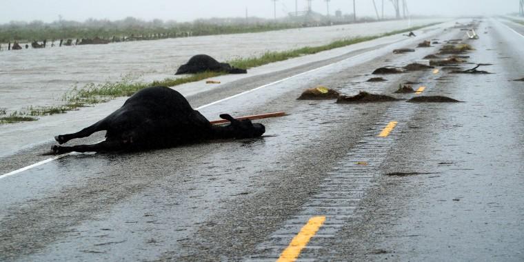 Image: Dead Cows Killed in Hurricane Harvey Lie Along Highway 35 Near Fulton