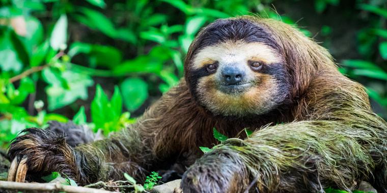 Image: Portrait of a Sloth