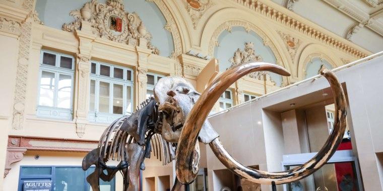 Image: A whole mammoth skeleton of the species