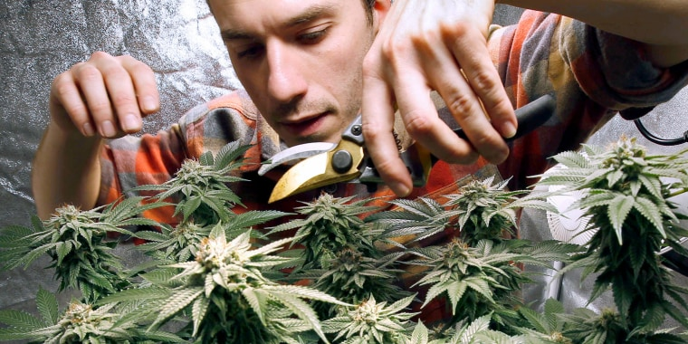 Image: James MacWilliams prunes a marijuana plant that he is growing indoors in Portland, Maine on Dec. 13, 2017.