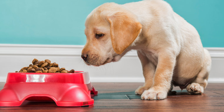 A Yellow Labrador puppy smelling kibble in a pet dish, - 7 weeks old
