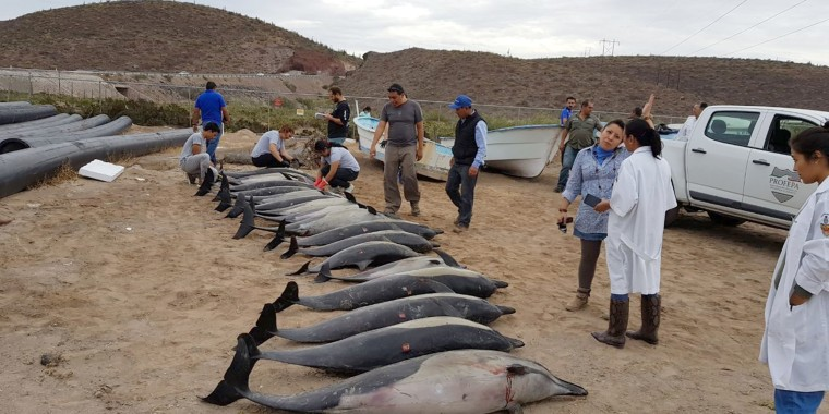 Image: Beached Dolphins