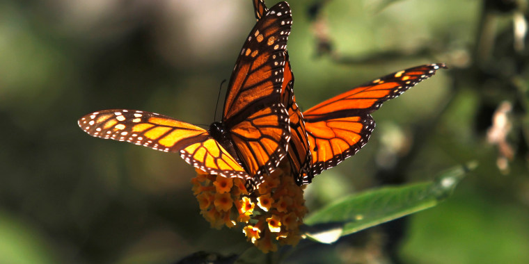 Image: Monarch butterfly