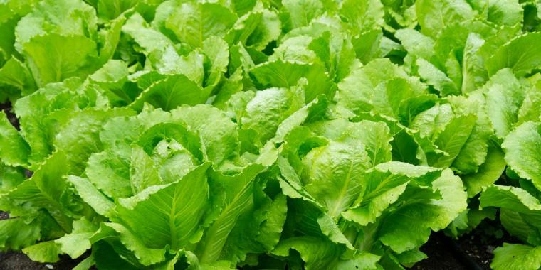 Image: Romaine lettuce, Hollyhock garden, Cortes island, British Columbia, Canada