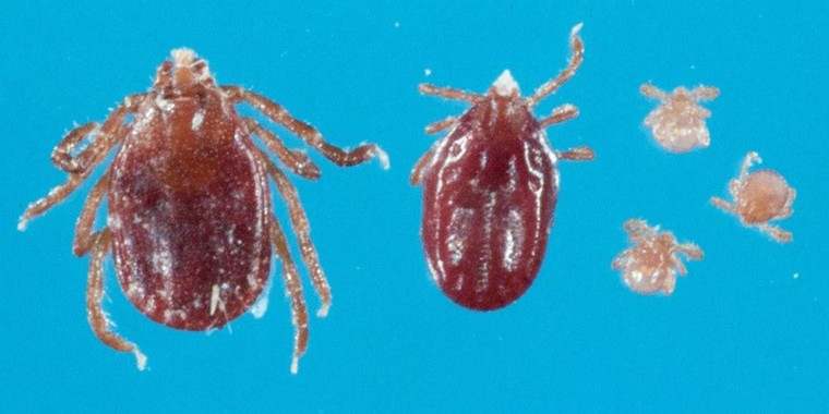 A Longhorned tick in its three stages, adult, nymph and larvae.