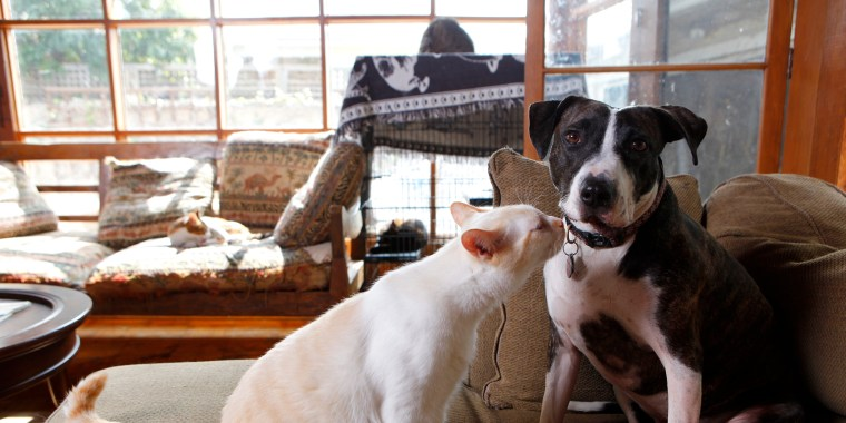Image: Jordan, a 2-year-old, 50-pound female pit bull, right, and Newman, a year-old male, 14-pound flame point Siamese play together