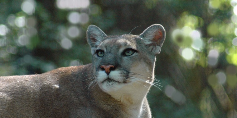 Image: Florida Panther