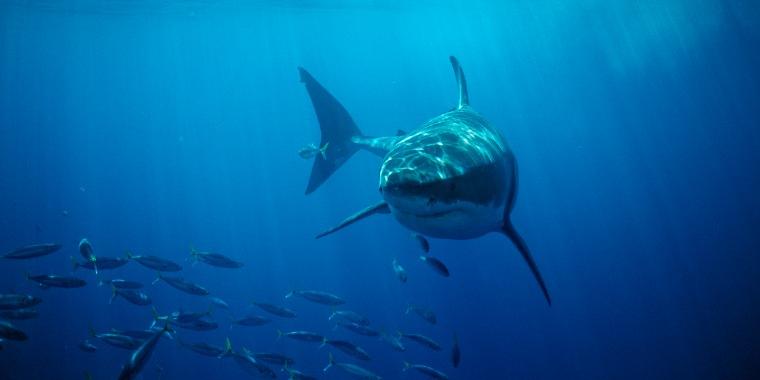 Image: Great White Shark in the Pacific Ocean, Farallon Island