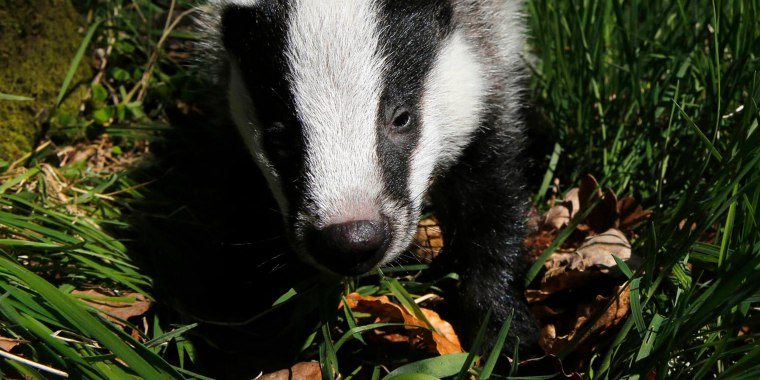 Badger walks in woodland under spring sunshine in Perthshire