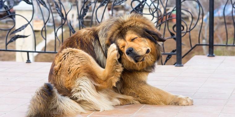 Image: A dog scratches a flea