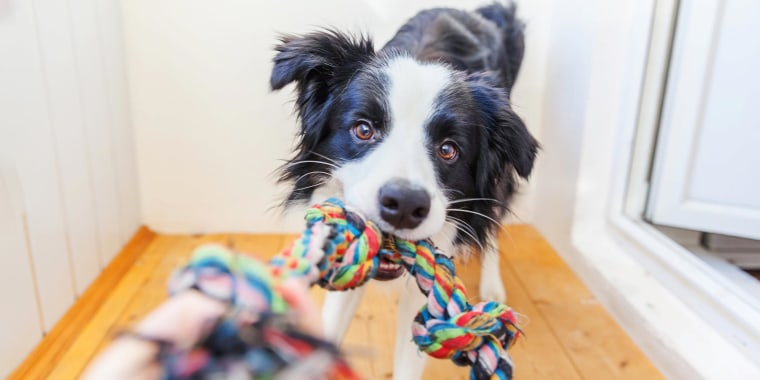 Black and white dog playing with a colorful chew pull-toy