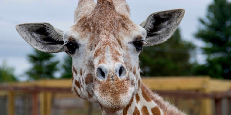 """This undated photo, provided by Animal Adventure Park on Sunday, June 3, 2018, shows a giraffe named April at Animal Adventure Park in Harpursville, N.Y. Park officials said 20-year-old April was euthanized \""""due to her worsening arthritis.\"""" (Animal Adventure Park via AP)"""
