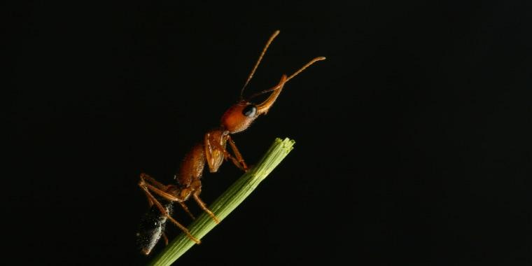 Jumping ant (Harpegnathos saltator)