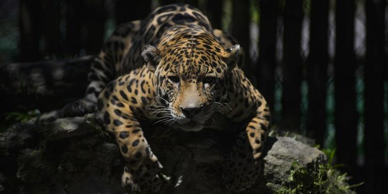 Image: A Leopard.