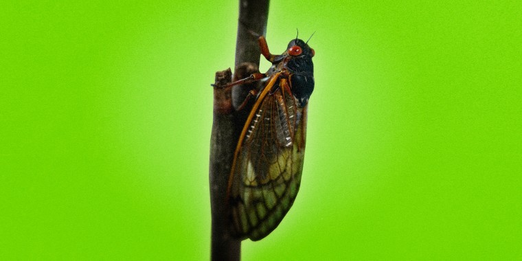Photo illustration of a Brood X cicada on a stem of a plant.