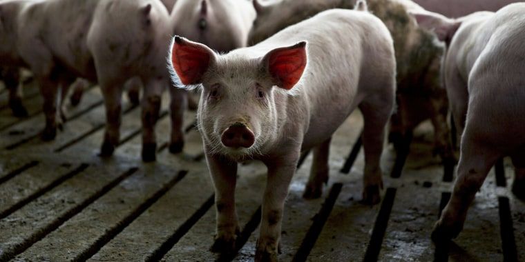 Image: Pigs stand in a pen in Walcott, Iowa, on April 17, 2018.