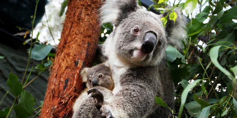 Koala joey Humphrey is comforted by mother Willow at Taronga Zoo on March 2, 2021, in Sydney, Australia.