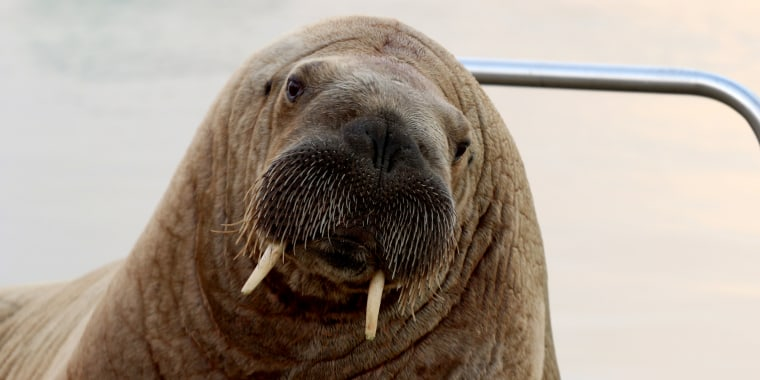 Image: Walrus identified by Seal Rescue Ireland as Wally sits in harbour in Hofn