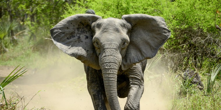 An elephant without tusks charges in Gorongosa National Park in Mozambique.