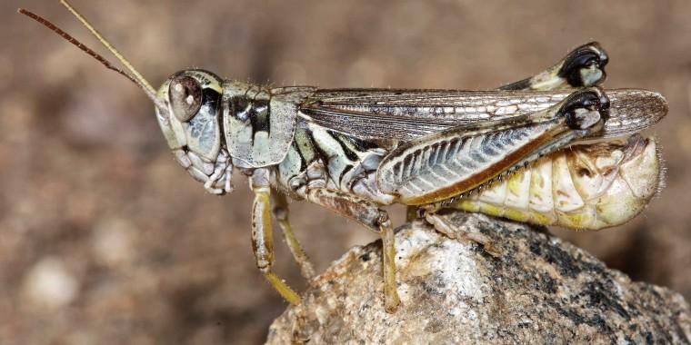 A male migratory grasshopper.