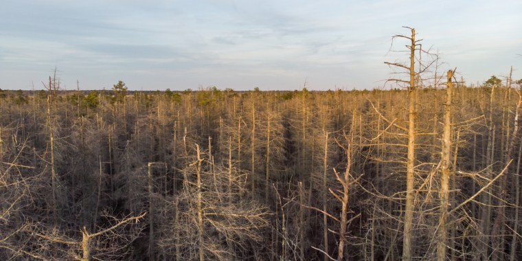 Climate change is causing whole forests to die, like this one in New Jersey. The Atlantic White Cedar is particularly vulnerable to changes in the environment like salt water intrusion from storm surges and sea level rise.