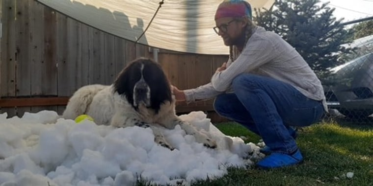 A large black and brown dogs rests on a pile of snow atop green grass as a man with braided pigtails in jeans, a long sleeve shirt and bandana pets her.