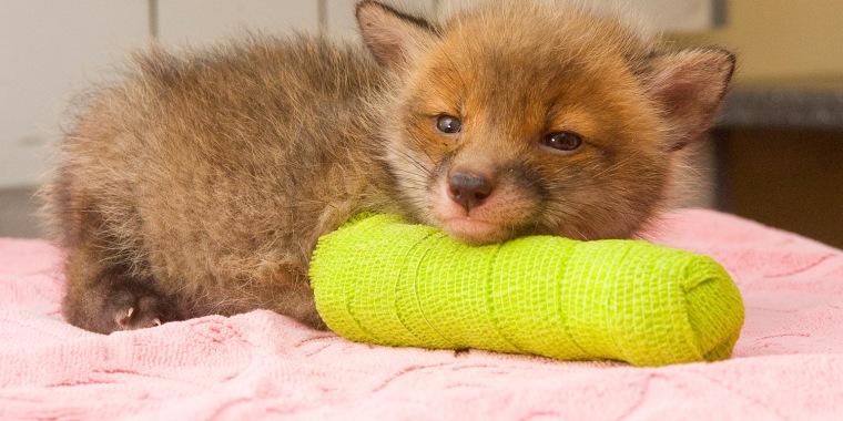 Image: Fox cub in a cast