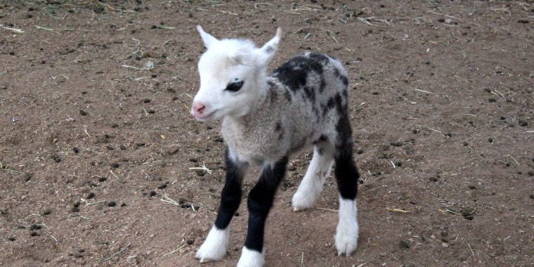 Meet The Half Goat Sheep Who Is All Cuteness