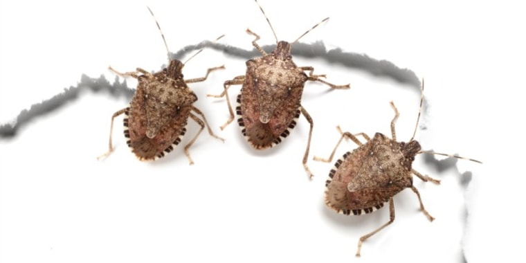 get rid of stink bugs with these easy tips. Black Bedroom Furniture Sets. Home Design Ideas