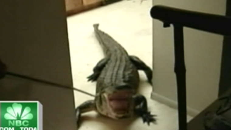 There's an alligator in my kitchen'
