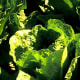 Don't eat romaine lettuce, CDC cautions after E. coli outbreak