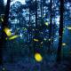 Image: Fireflies at Nanacamilpa