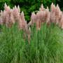 Pink Pampas Grass, pampas grass home decor